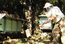 Colmeias destruídas pela vespa asiática