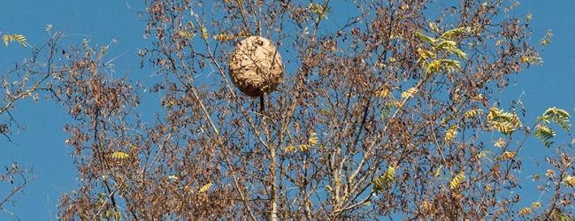 População alarmada com a vespa asiática